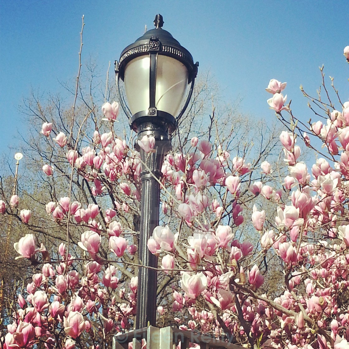Magnolia Tree And Lamp Post New York License Download Or Print