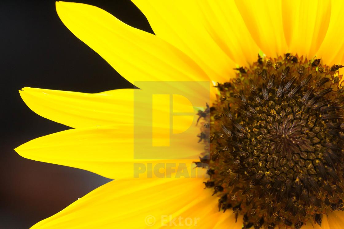 """Sunflower gold"" stock image"