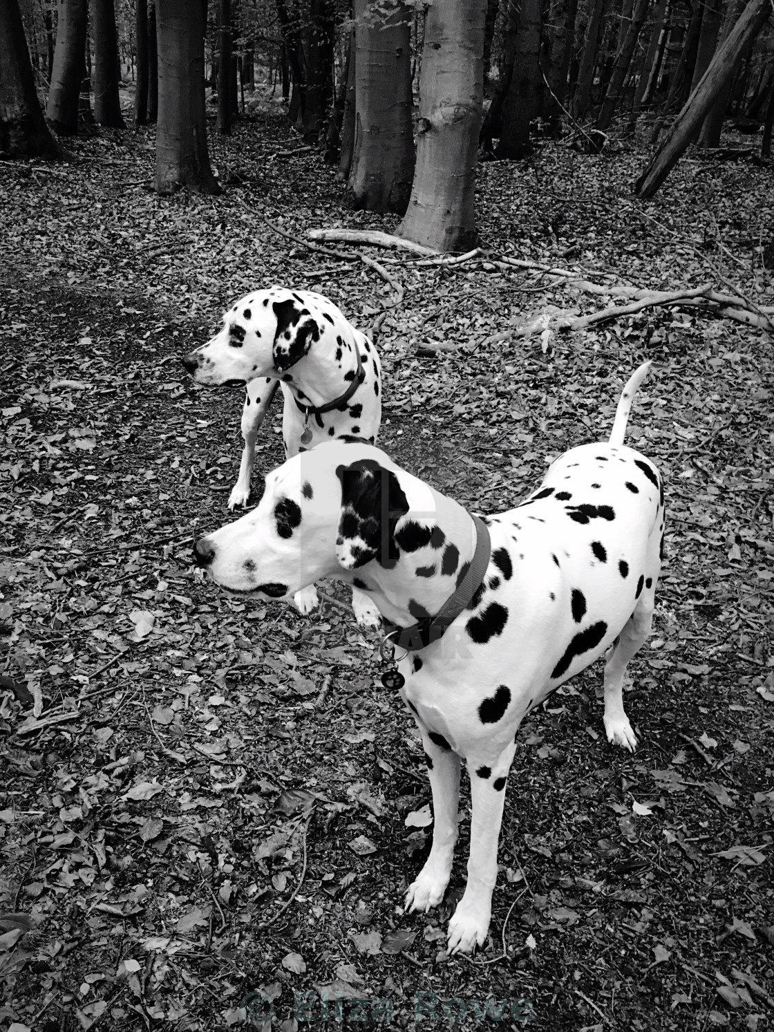 """""""Black and White image of two dalmatian dogs"""" stock image"""
