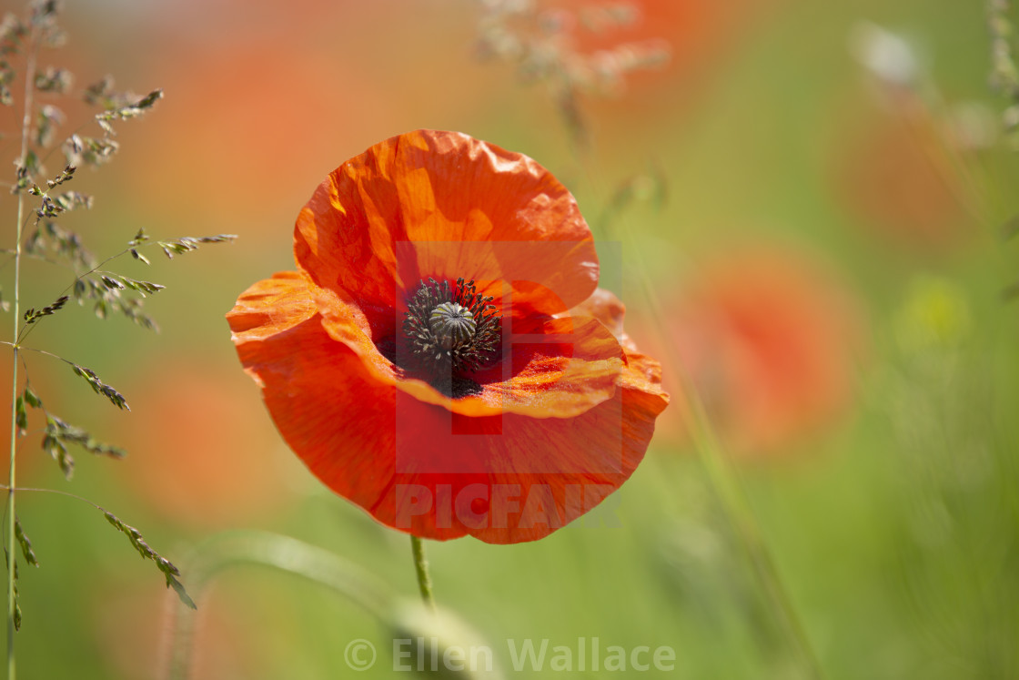 """Red poppy field"" stock image"