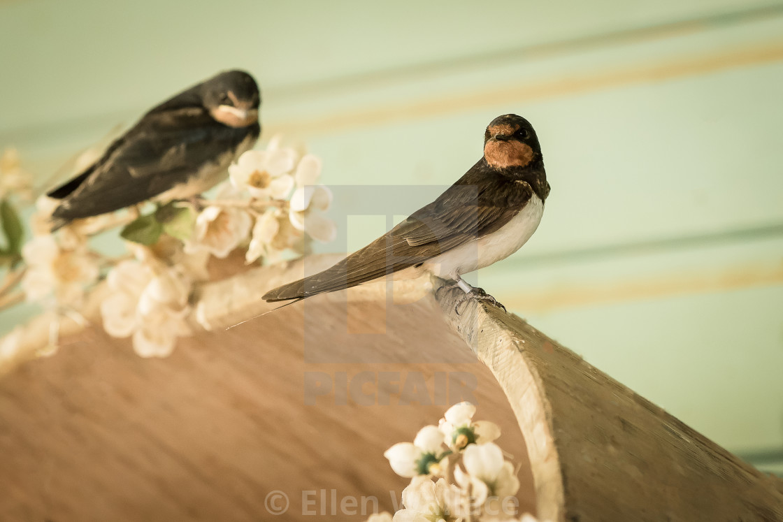 """Wild birds, swallows perched"" stock image"