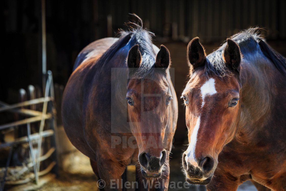 """""""Two brown horses together, looking at the camera"""" stock image"""