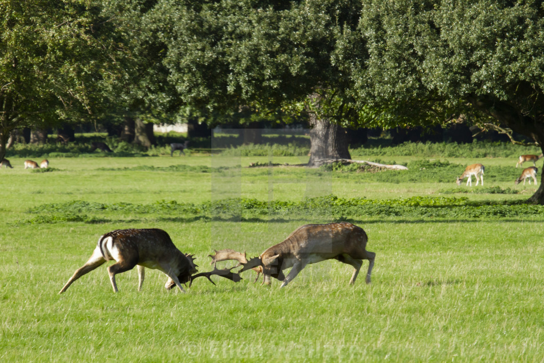 """Rutting young stags"" stock image"