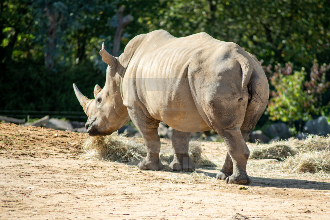 A Southern White Rhino - License, download or print for