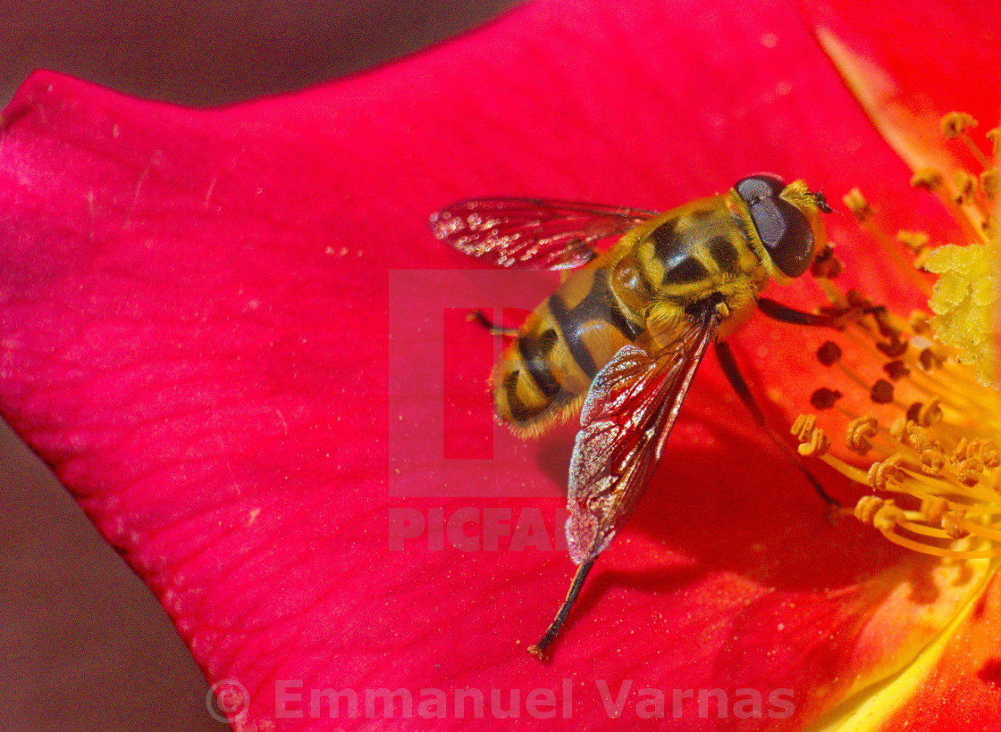 """""""bee on a flower petal"""" stock image"""