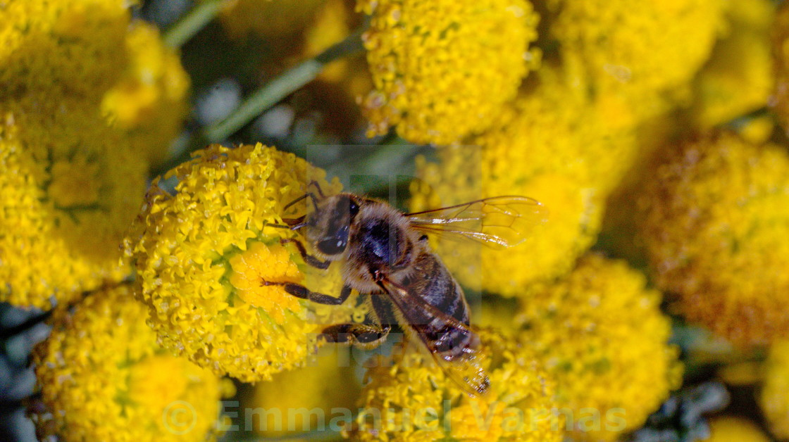 """""""Bee on yellow plants"""" stock image"""