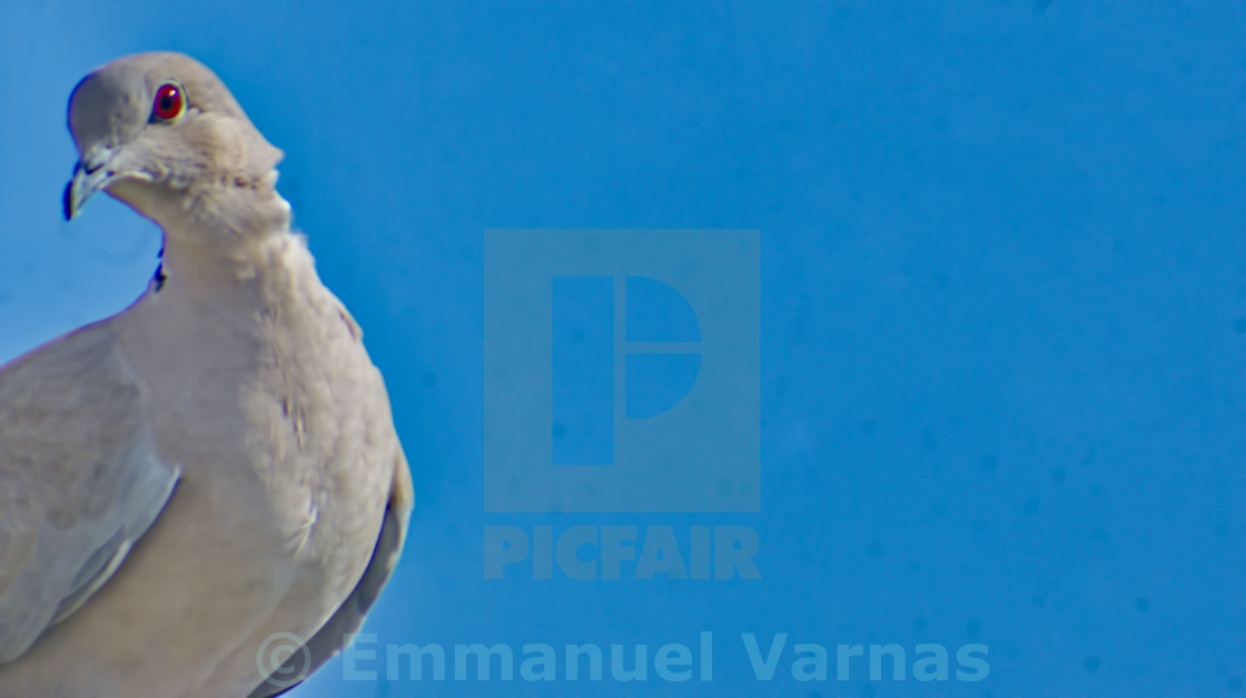 """pigeon in a blue sky"" stock image"