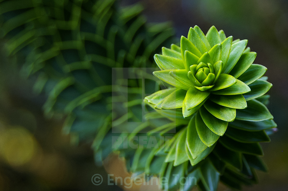 """Monkey Tail Tree Curl"" stock image"
