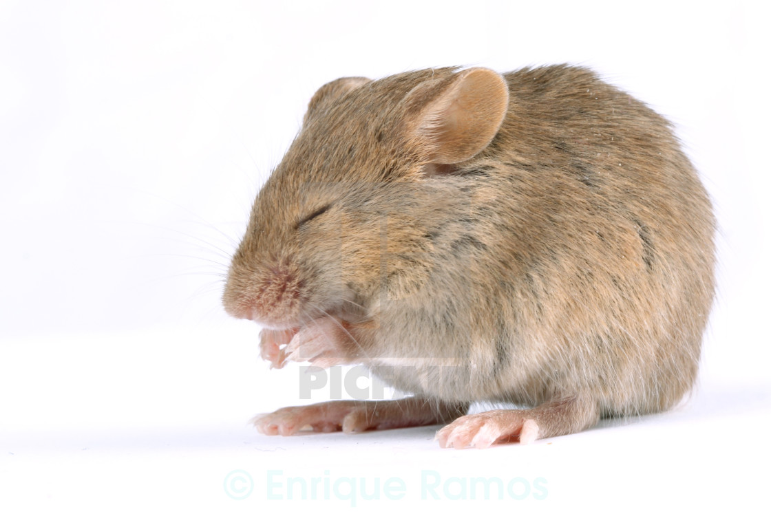 """little mouse"" stock image"