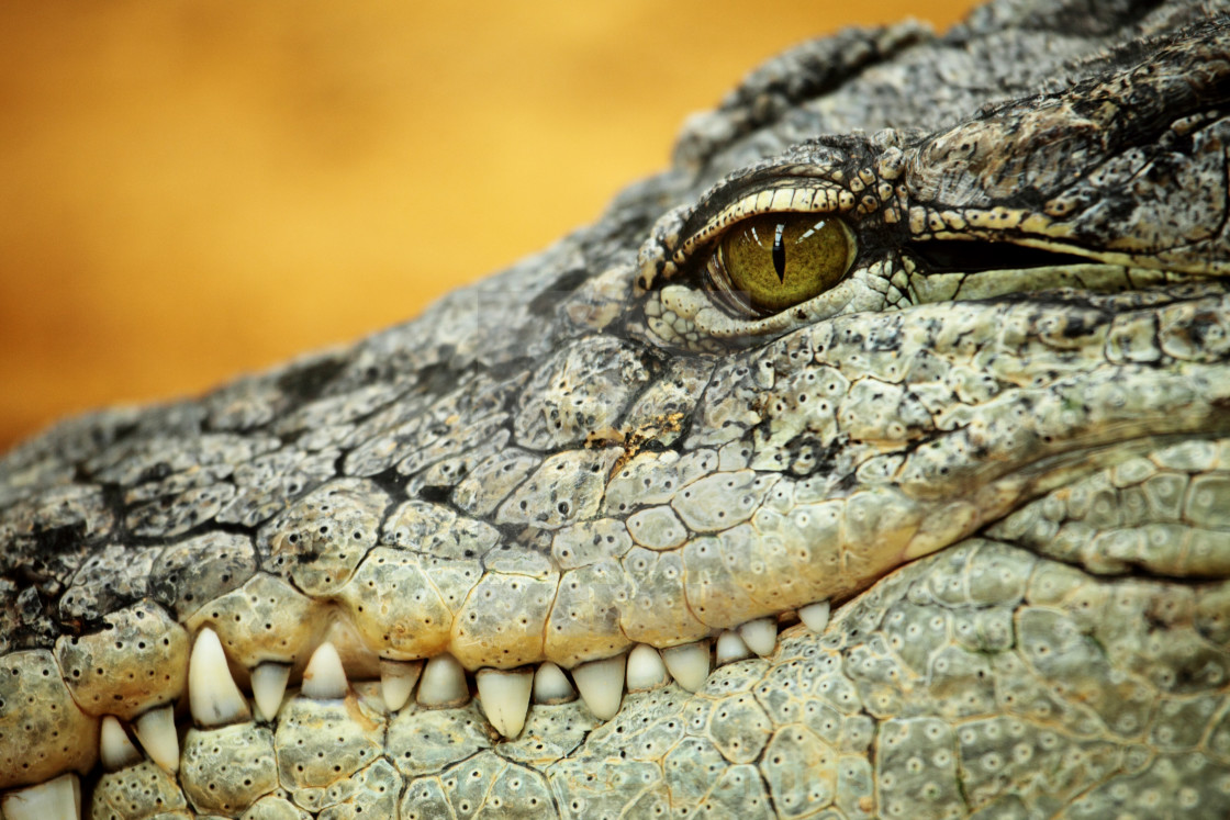 """nile crocodile"" stock image"
