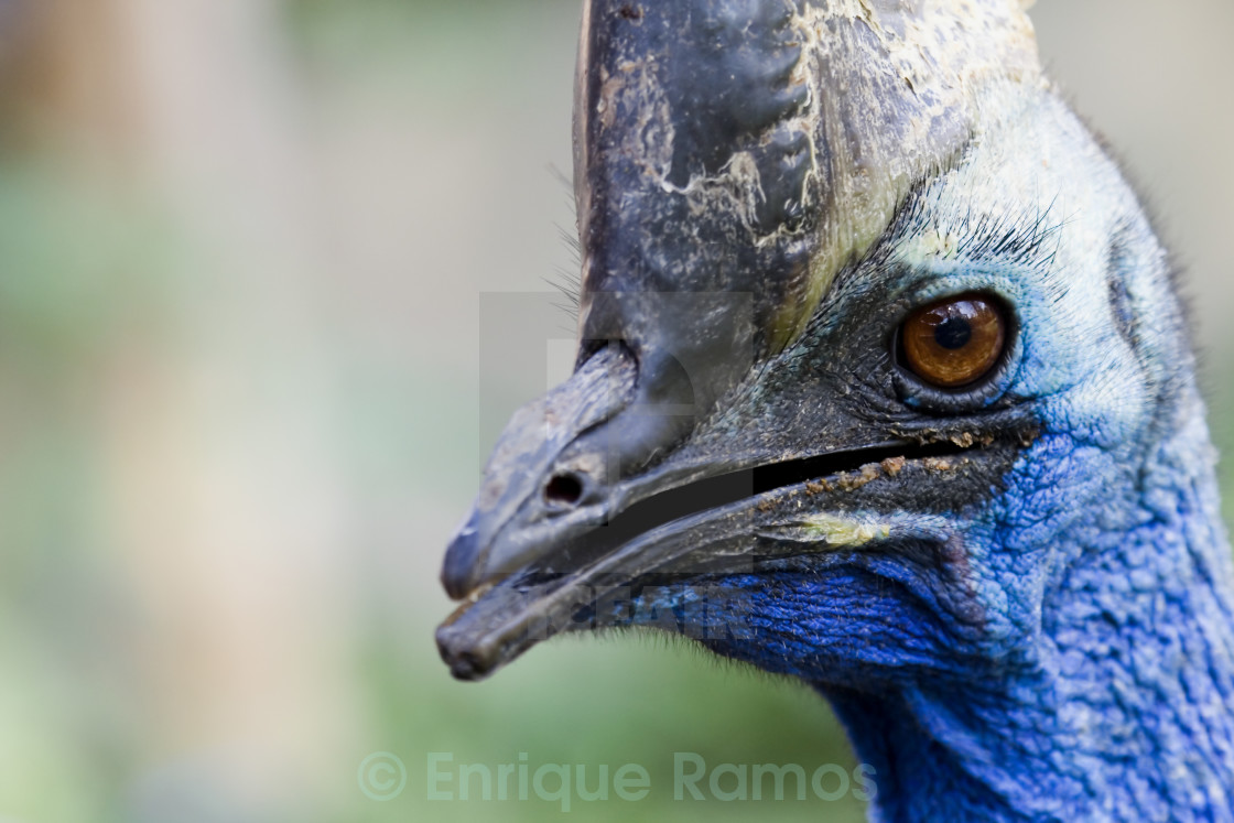 """a portrait of an ugly bird"" stock image"