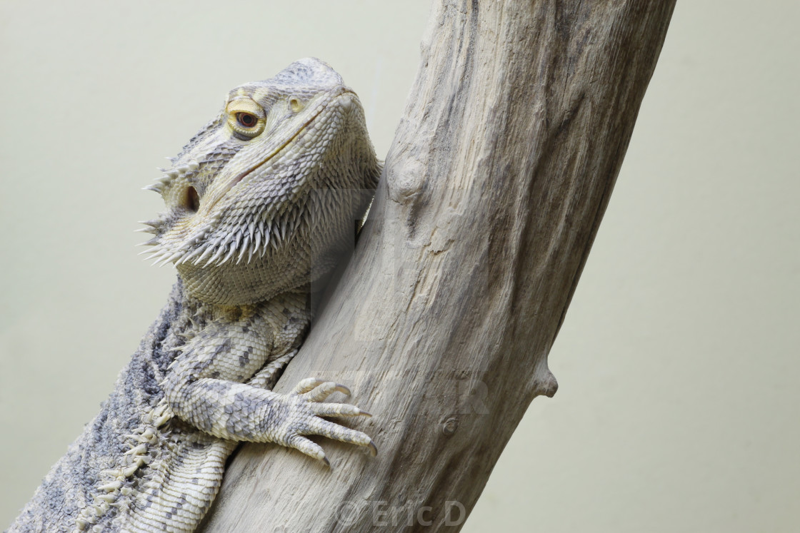 """""""Central bearded dragon"""" stock image"""