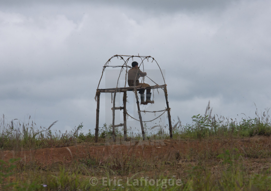 """""""North Korean man watching and guarding crops from a high chair, North..."""" stock image"""