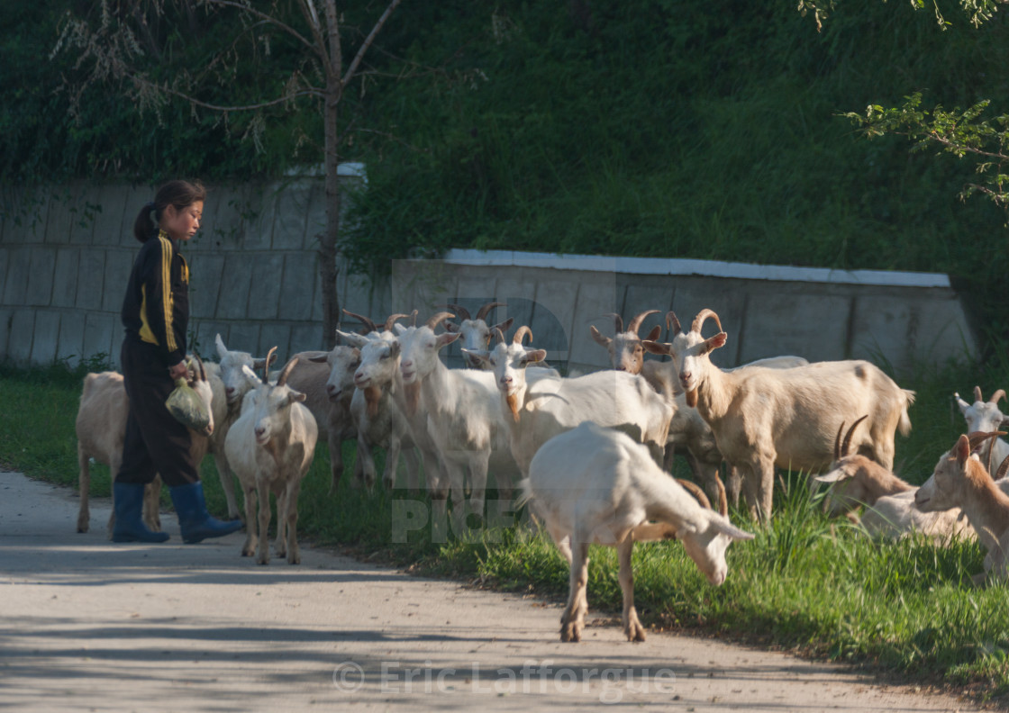 """North Korean girl watching a herd of goats grazing, South Pyongan Province,..."" stock image"