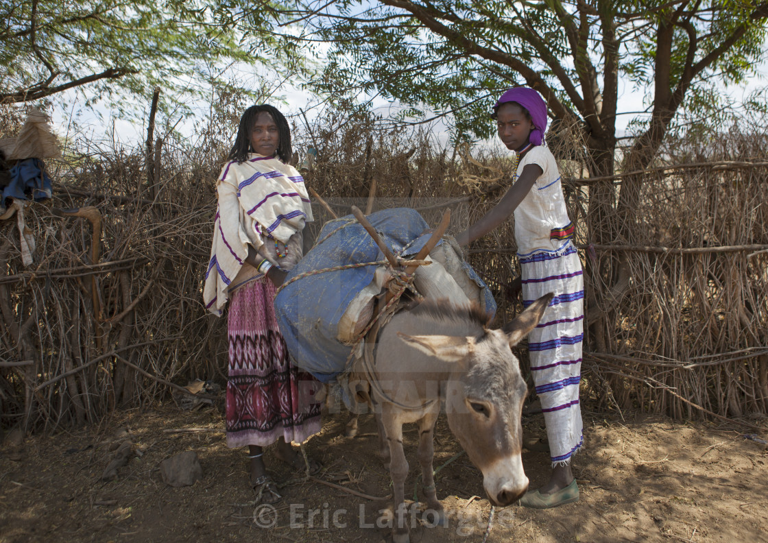 """Karrayyu Tribe Women Loading A Donkey Under The Trees During Gadaaa Ceremony,..."" stock image"