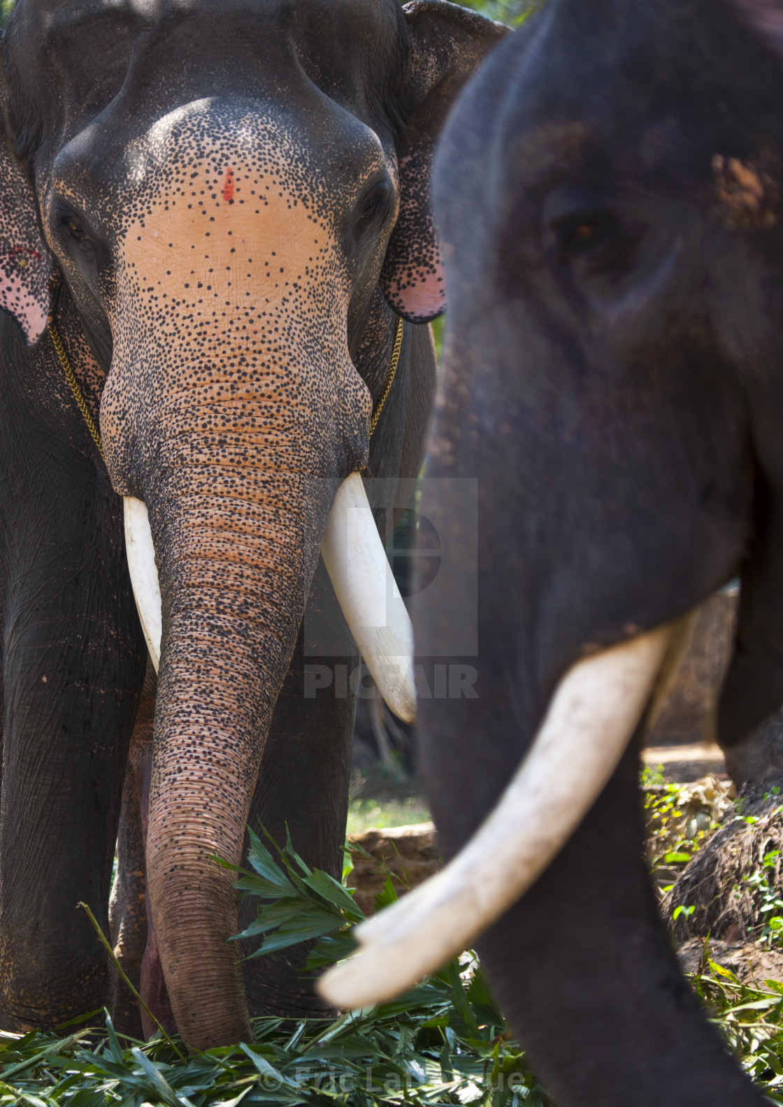 """Asian Elephants With Tusks Eating Grass, Kochi, India"" stock image"