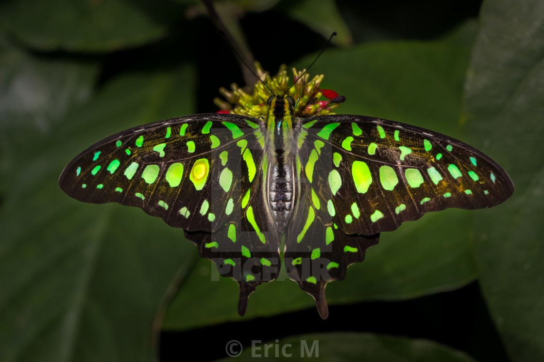 """Tailed Jay"" stock image"