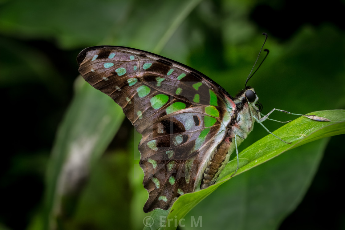 """Tailed Jay 2"" stock image"