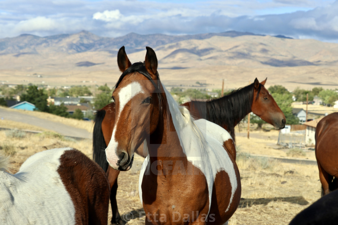 Wild mustangs of Nevada, USA - License, download or print