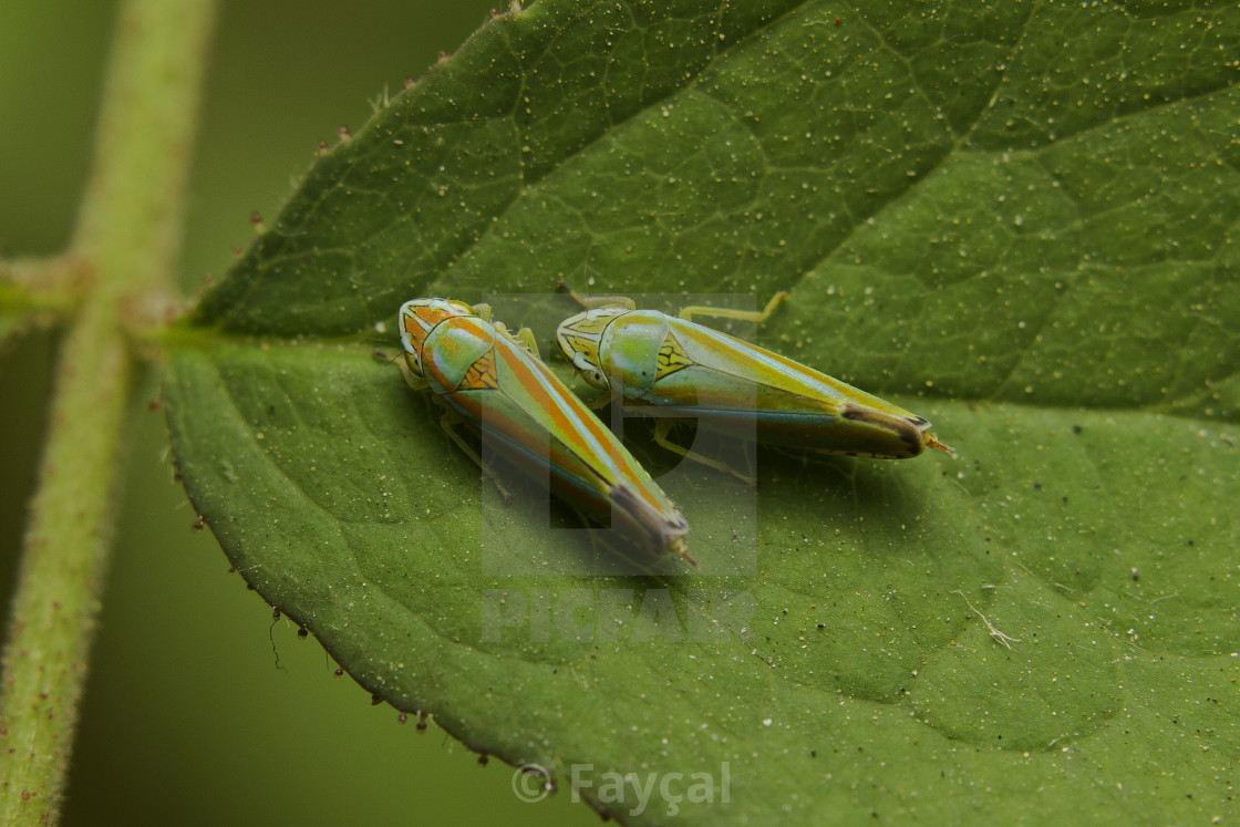 """Two leafhopper"" stock image"