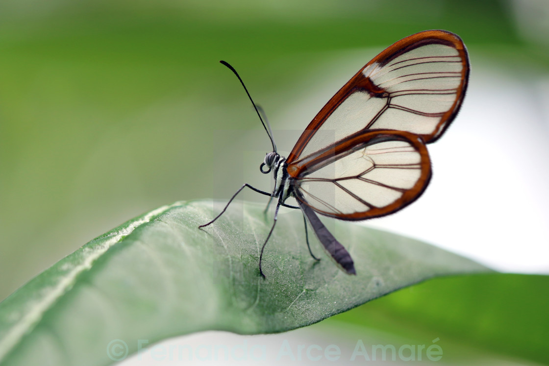 Glasswinged Butterfly License Download Or Print For 620