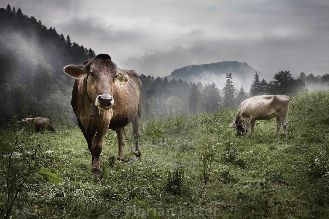 """ciao for now brown cow"" stock image"