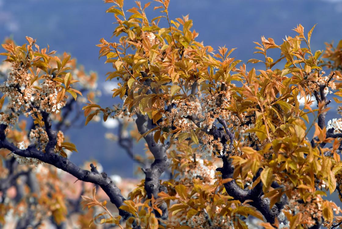 """Peach tree white flowers"" stock image"