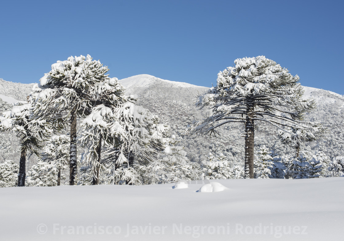 """Winter in Araucarias Tree"" stock image"