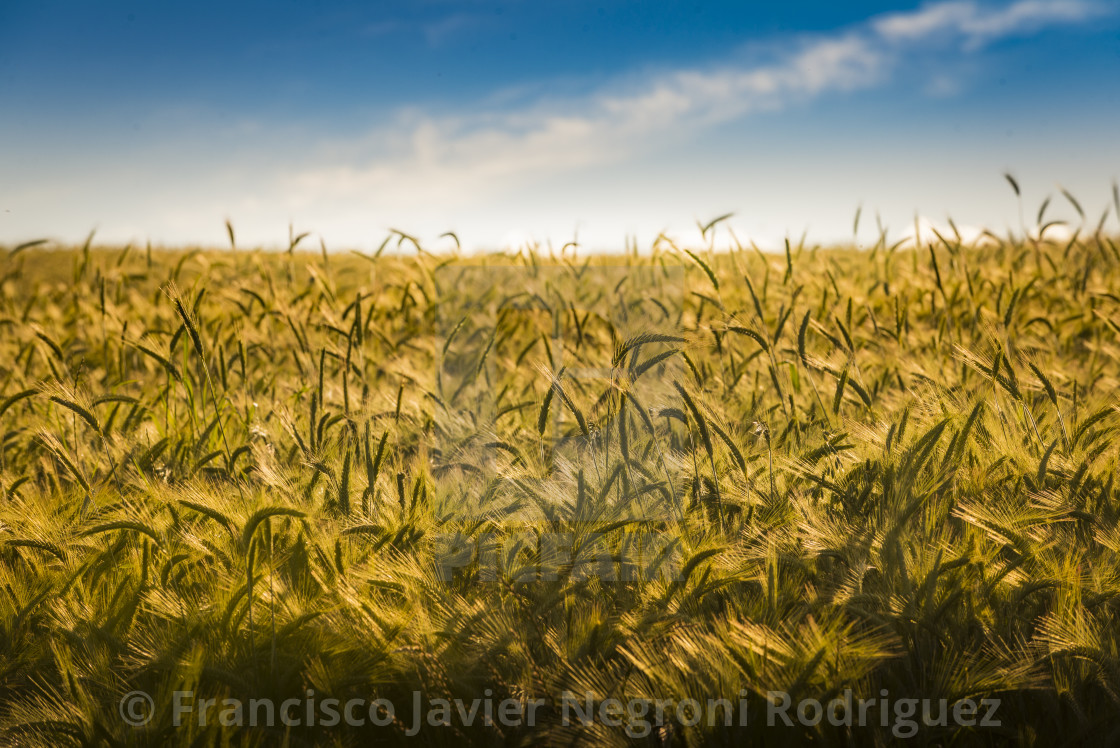 """Fields of wheat"" stock image"