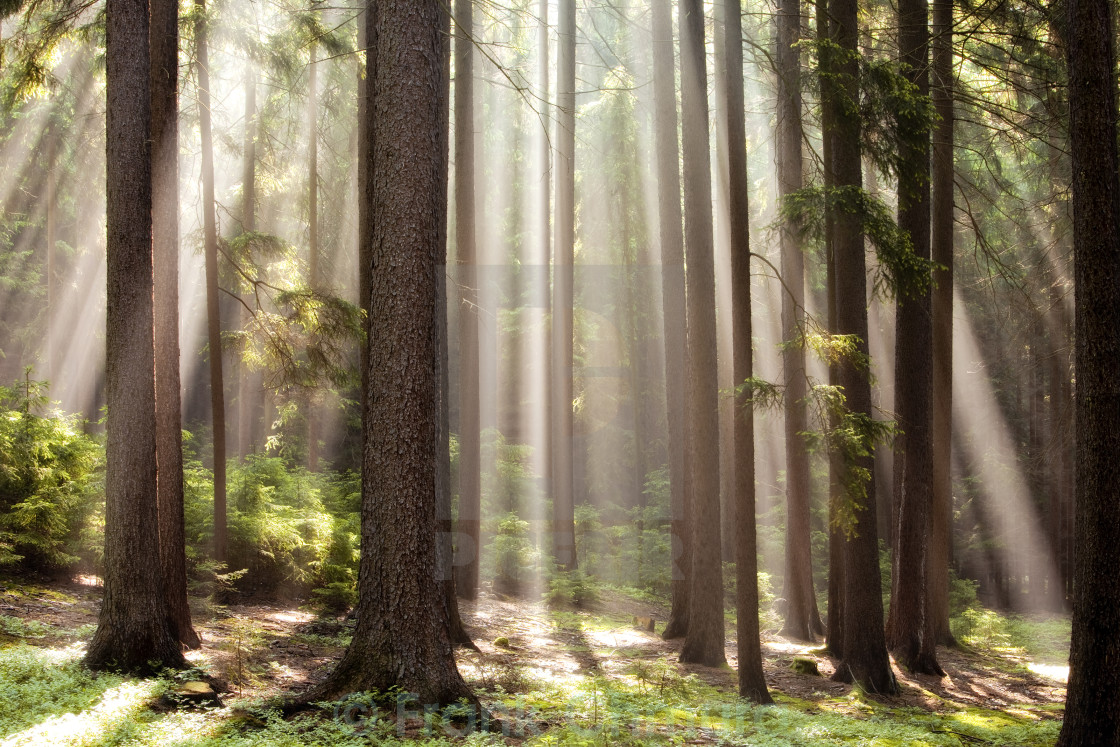 """forest scene with sun rays shining through branches"" stock image"