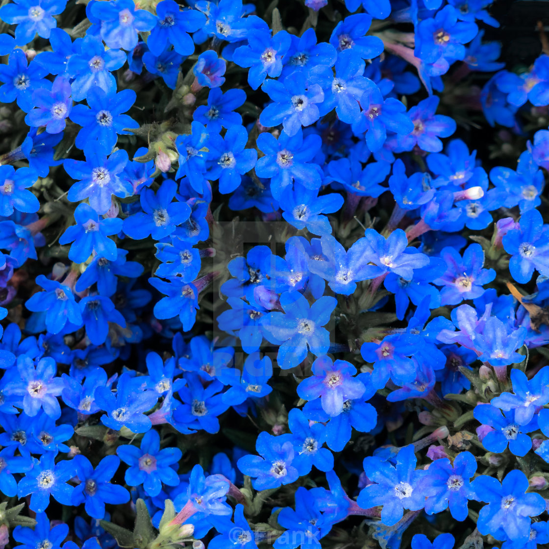Small Dark Blue Flowers That Grow Closely Together And Form A Blue To Violet License Download Or Print For 2 75 Photos Picfair