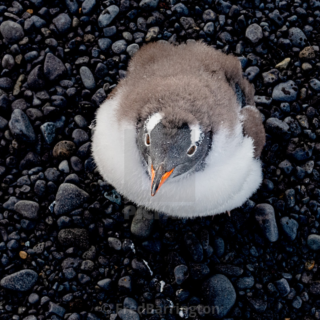 """""""Young Gentoo looking up"""" stock image"""