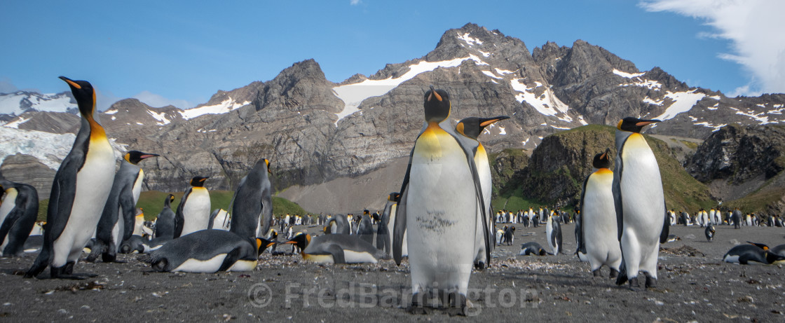 """King Penguins on Salisbury Plain"" stock image"