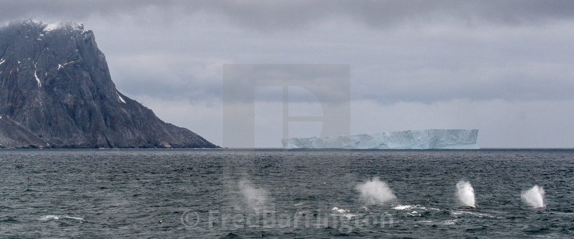 """Fin Whales in front of a tabular iceberg"" stock image"