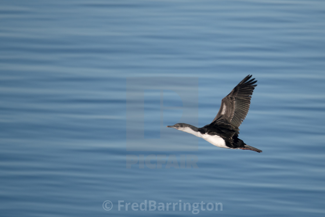 """Blue Eyed Shag in Flight"" stock image"