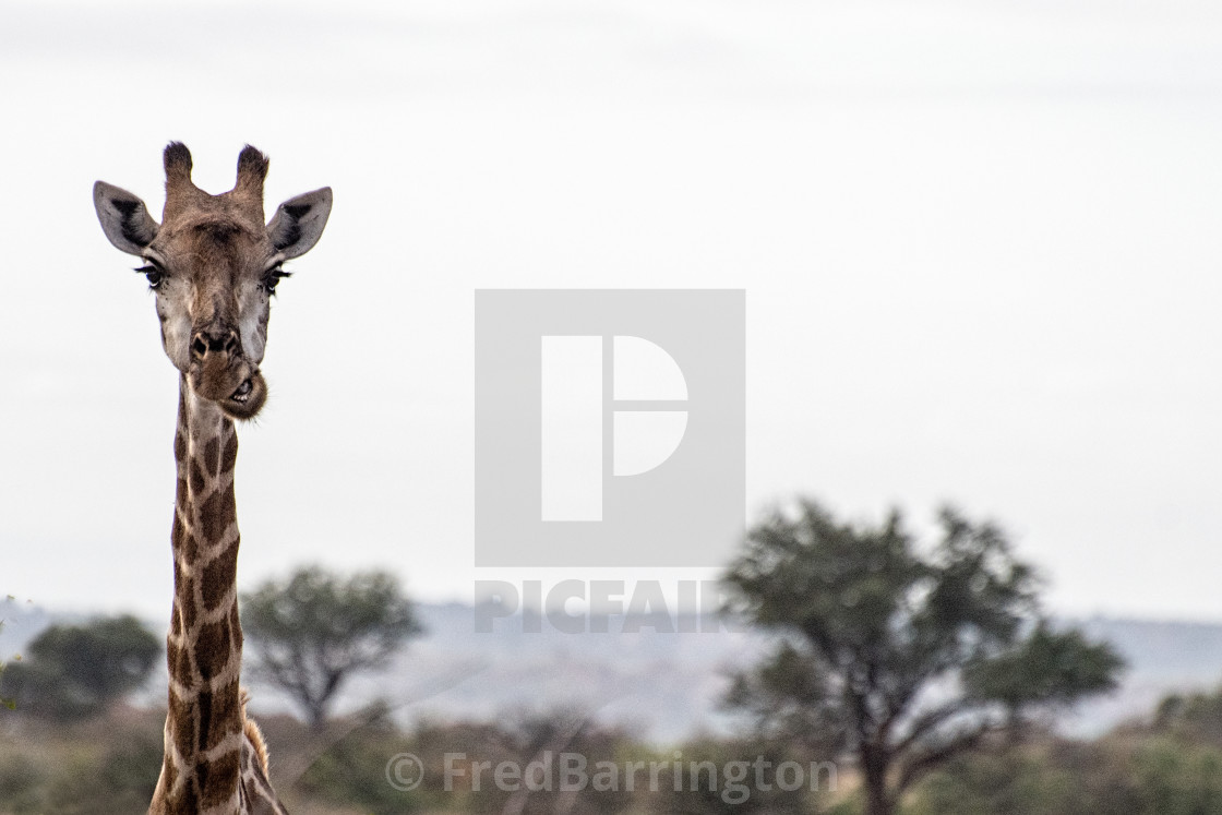 """Masticating Giraffe"" stock image"