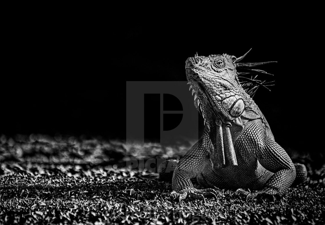 """Green Iguana (monochrome)"" stock image"