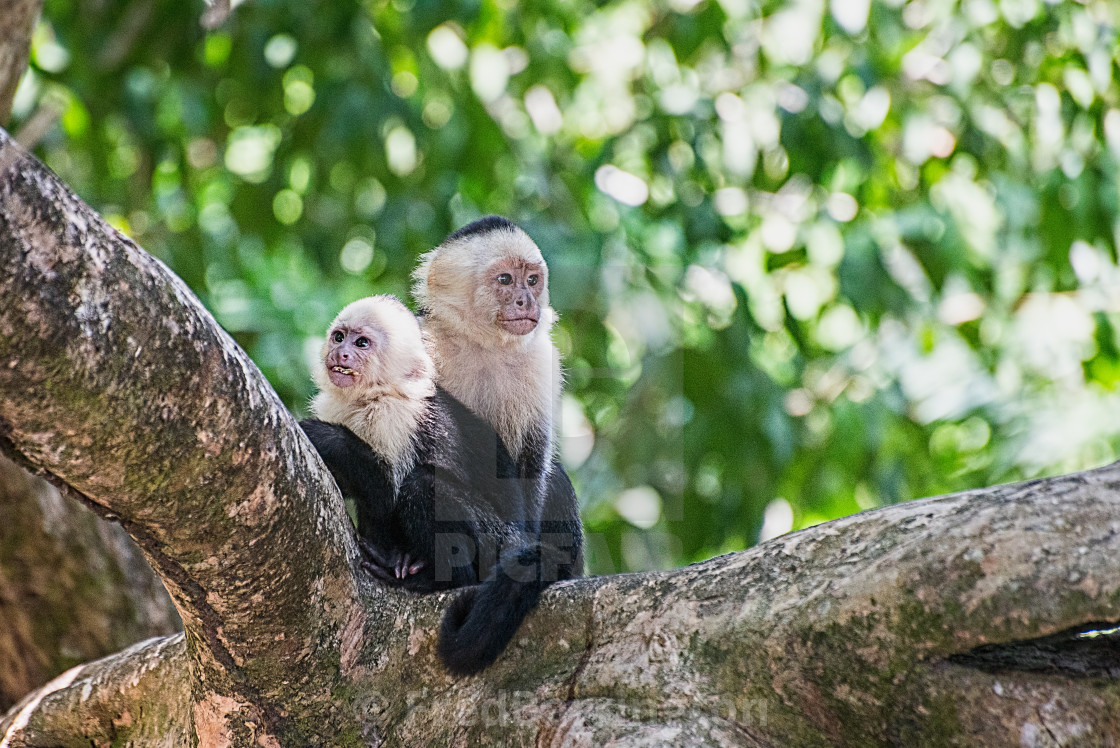 """White Faced Monkey - Mother and Child"" stock image"