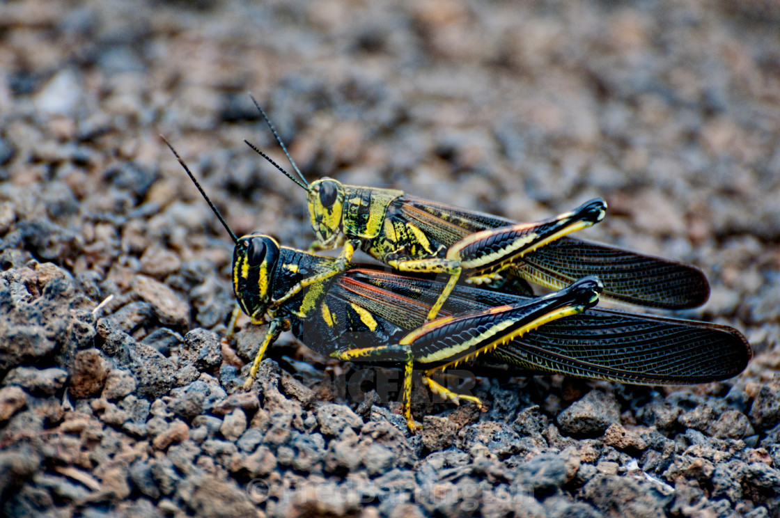 """Mating Grasshoppers"" stock image"