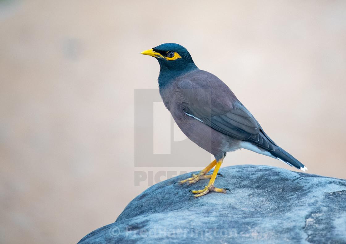 """Mynah Bird"" stock image"