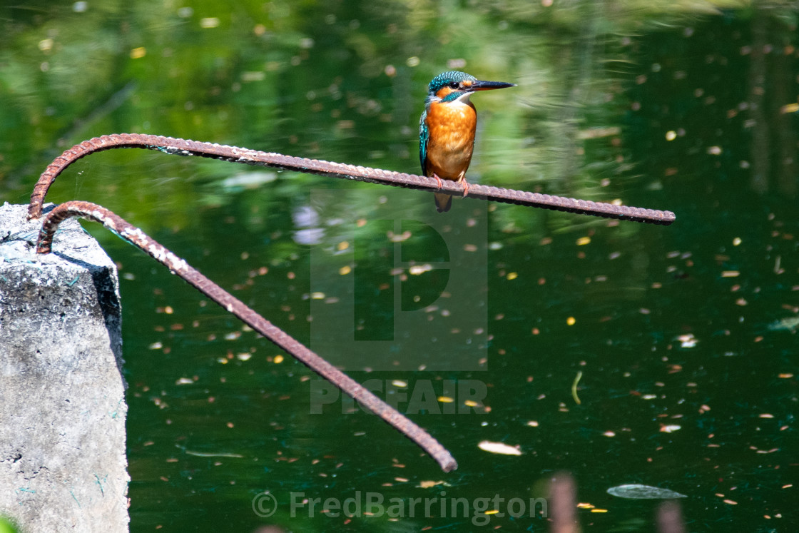 """Kingfisher at the Temple"" stock image"