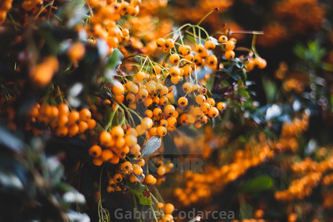 Closeup Of Orange Berries Bush Blurred Perspective License