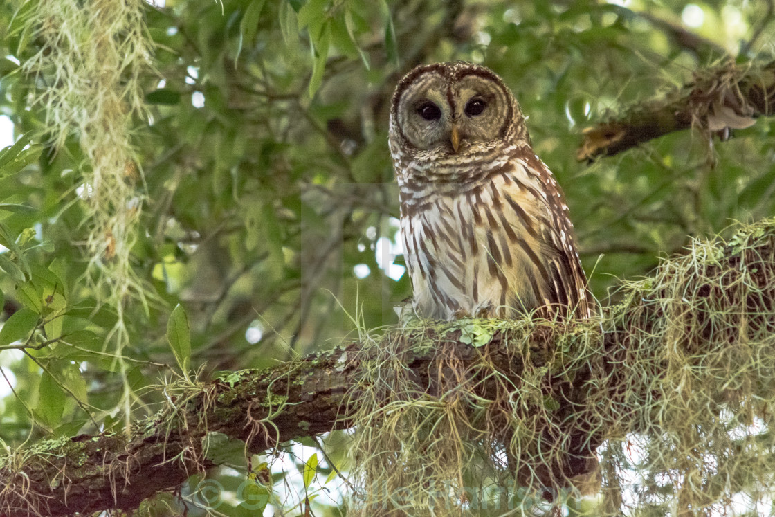 """Barred Owl in Tree"" stock image"
