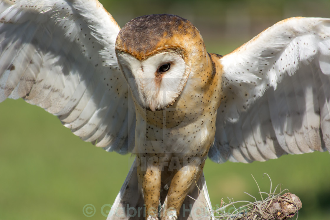 """Owl in flight"" stock image"