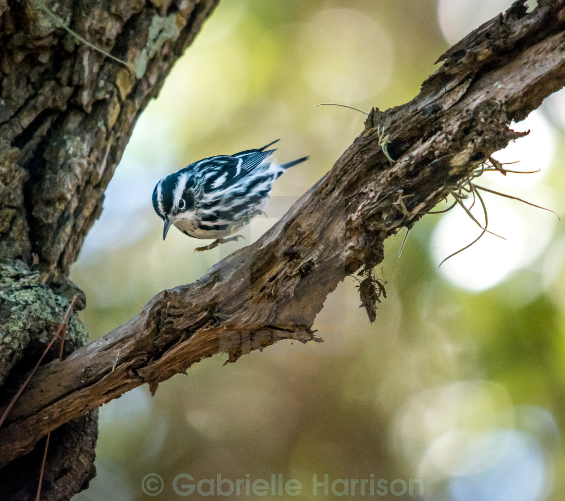"""Black and White warbler"" stock image"