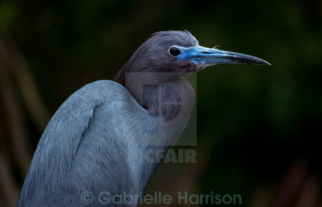 """Little Blue heron"" stock image"
