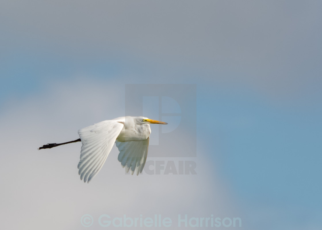 """Egret in Flight"" stock image"