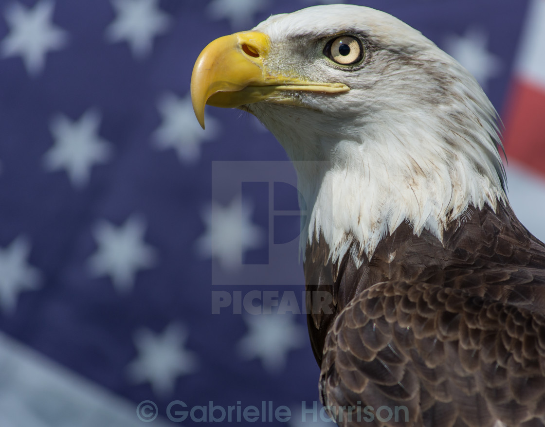"""Eagle and American Flag"" stock image"