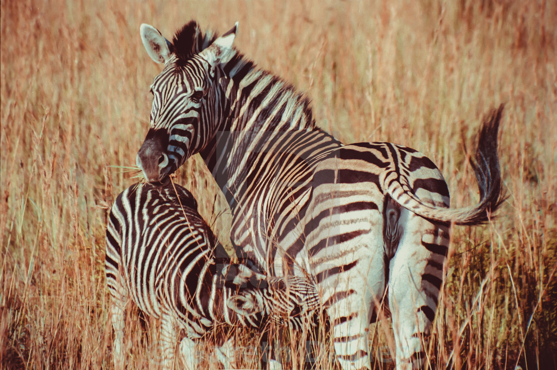 """Pilansberg National Park, South Africa"" stock image"