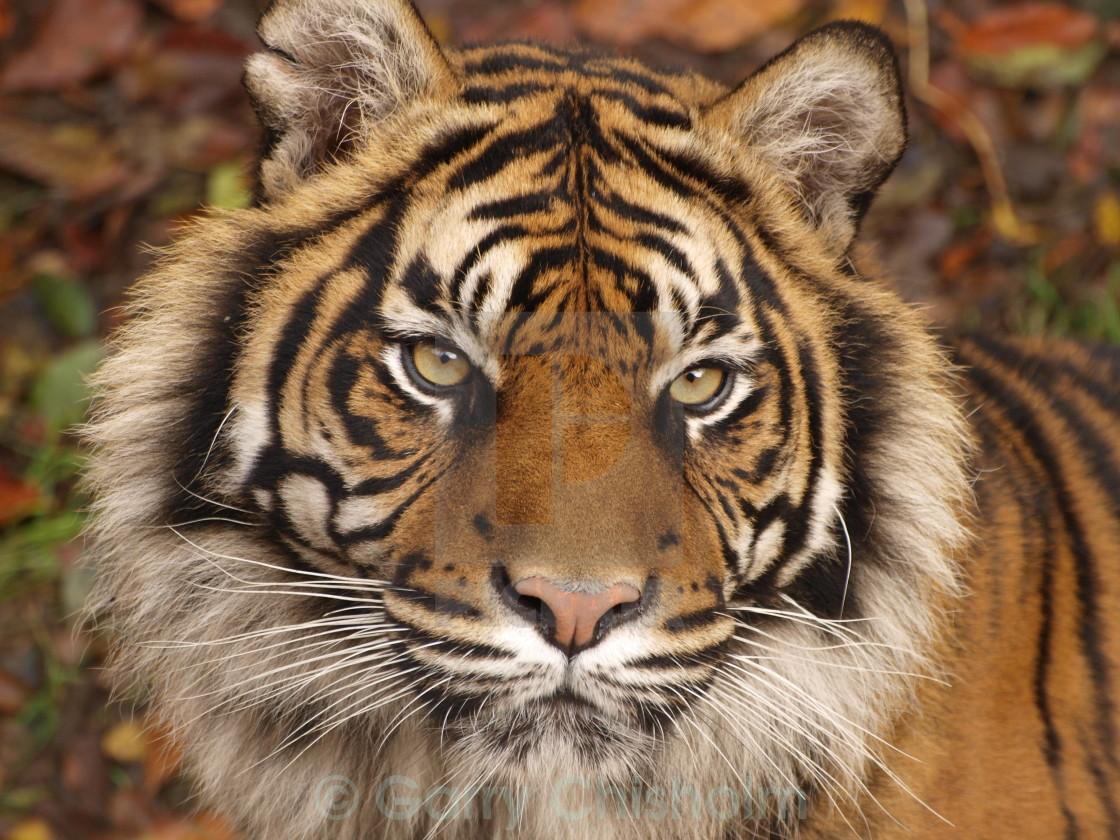 """""""Sumatran Tiger"""" stock image"""